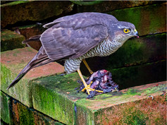 Sparrow Hawk 3pts