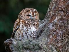 Tawny Owl 9pts