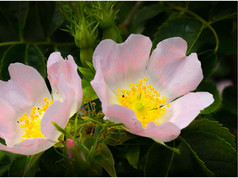 Wild Rose _Tony Mar-Gerrison