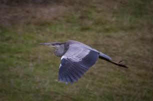 Heron on the hunt