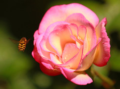 Hover and Rose