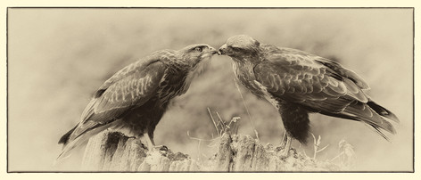 Buzzard with Juvenile
