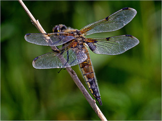 c Four Spotted Chaser by Ken Brendon