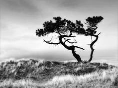 Scots Pine Silhouette