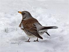 Fieldfare in the Snow_Ken Brendon