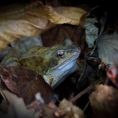 Autumnal Frog