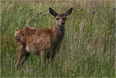 Red Deer Fawn