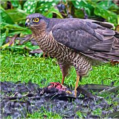 Sparrow Hawk with Kill