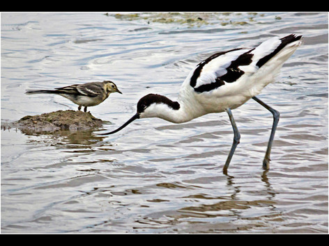 Wagtail meets Avocet
