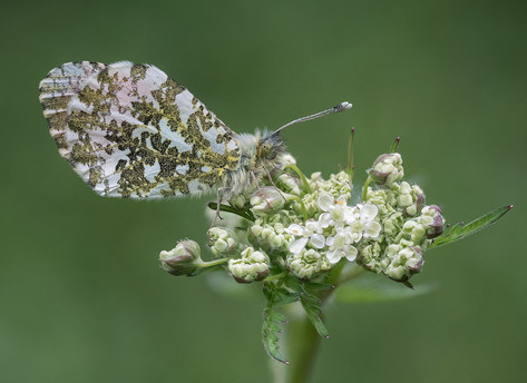 Roosting Male Orange Tip