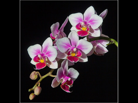 The Moth Orchid
