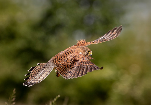 HC Hunting Kestrel by Louise Beech