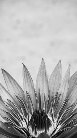 Black and white Lotus_motion