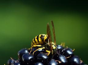 Sommerzeit - Wespenzeit