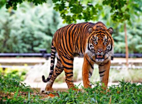 Kijk de tijger in de ogen