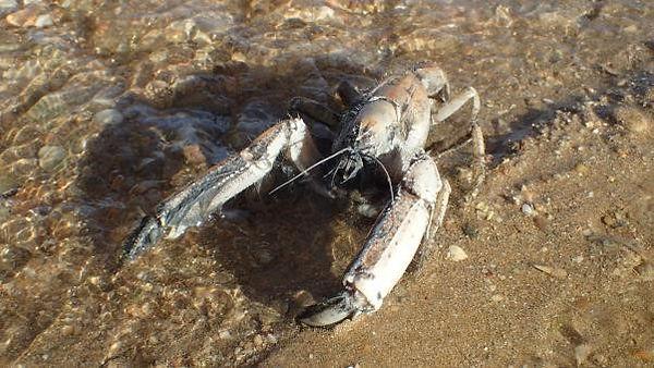 Mangrove lobster, Thalassina squamifera,