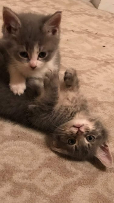 Grey and White Kittens