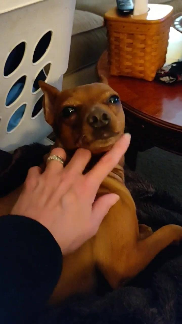 Meeka a 3 year old min pin...  Loves her foster dog siblings...  Loves other dogs in general and cats!  Prefers older children. She was teased by smaller children at one time.  She is house and crate trained. Spayed, up to date on shots, microchipped