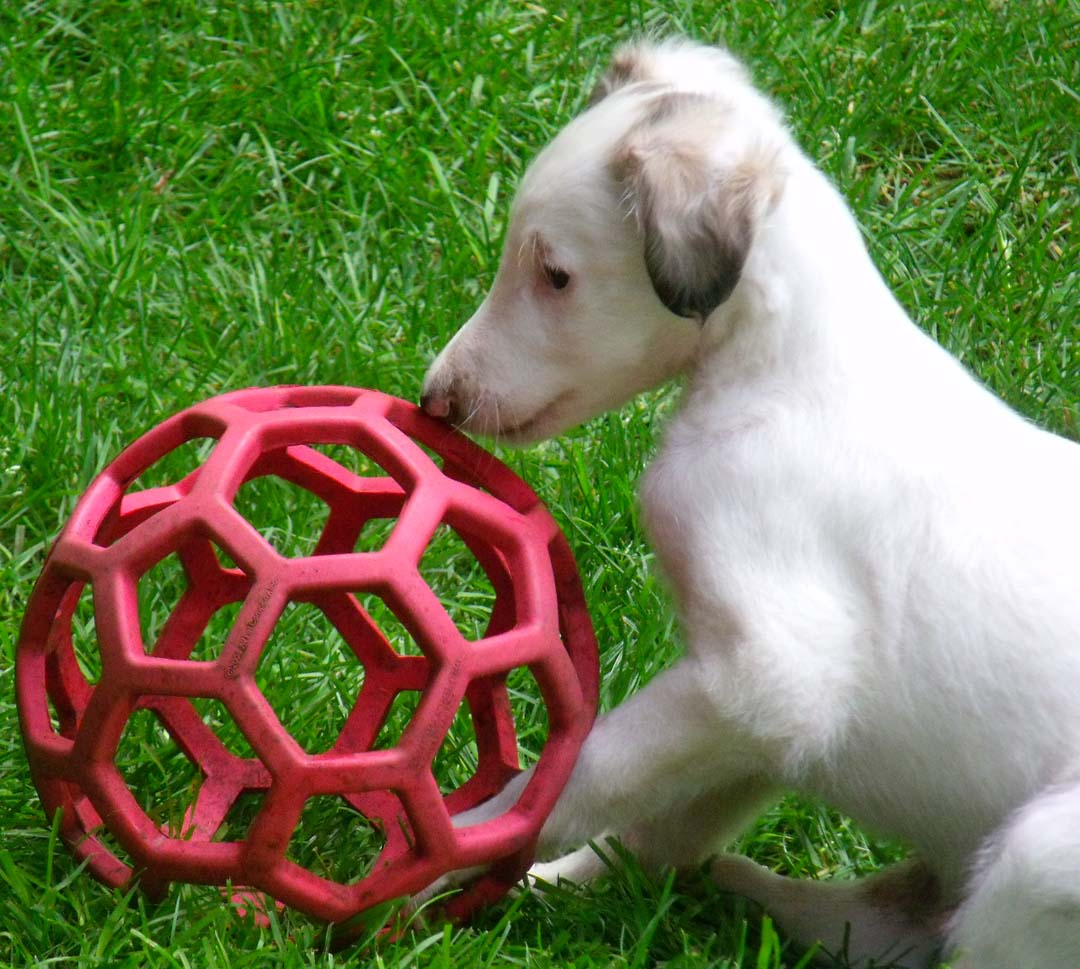 Borzoi puppy Roo likes the red ball