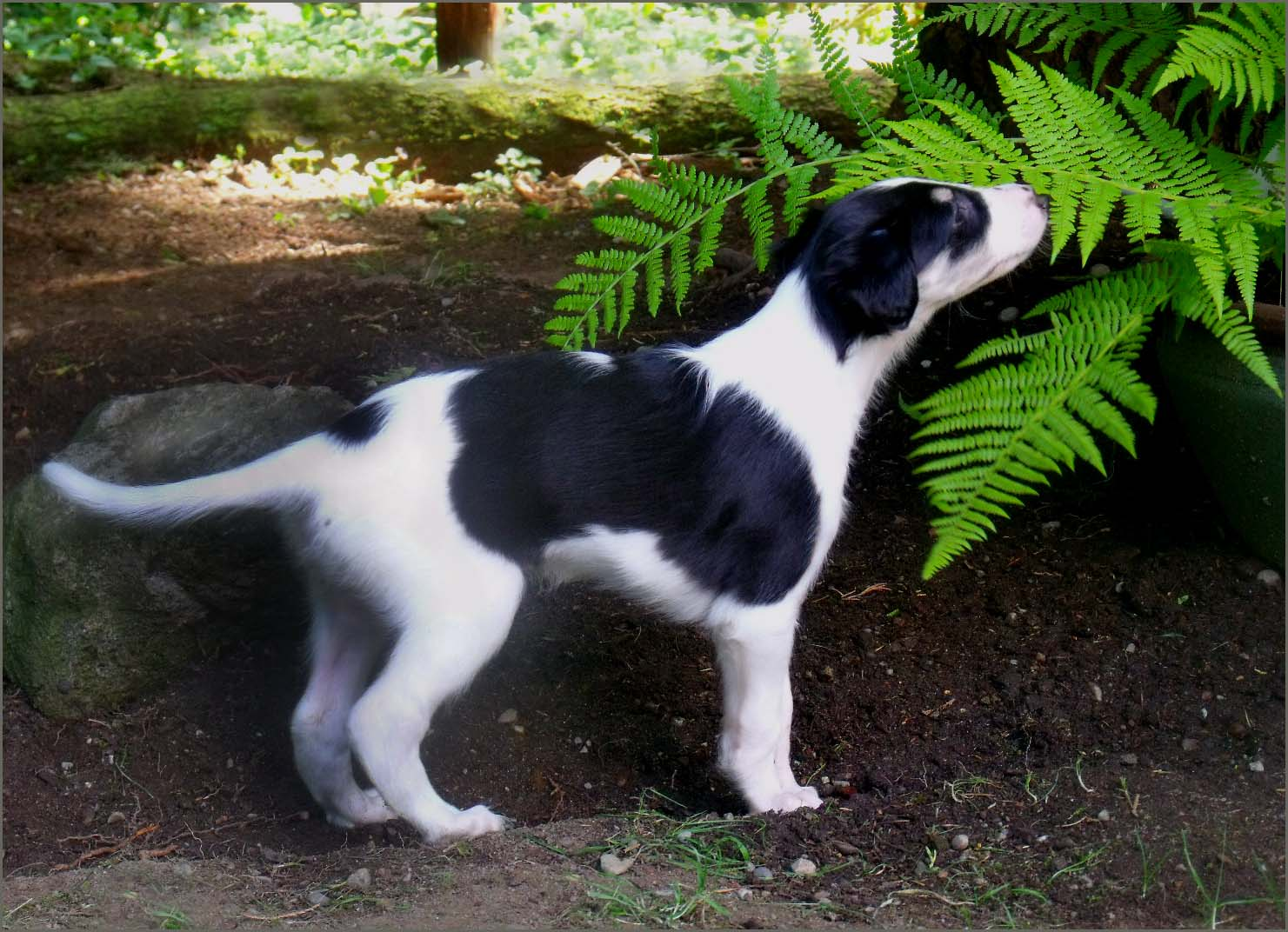 Borzoi puppy sniffing fern