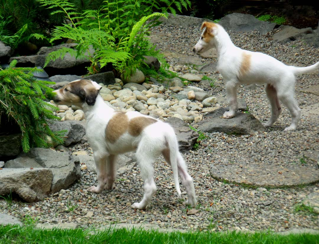 Borzoi puppies exploring the pond