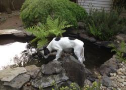 Drogo investigating the pond