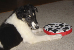 Misha with his new frisbee