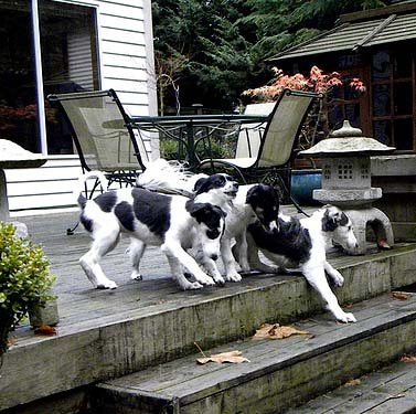 Borzoi puppies learning about stairs