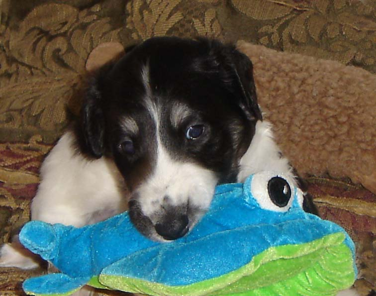 Borzoi puppy biting his toy