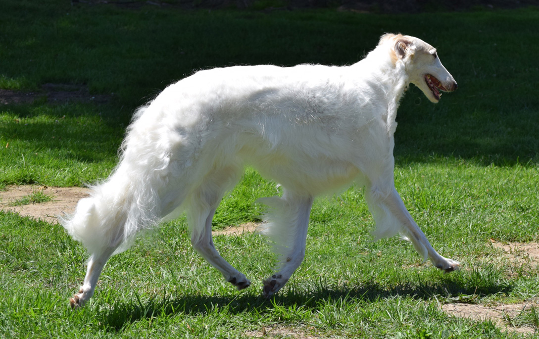 Stella trotting