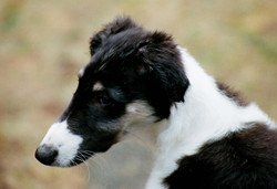 Rigels puppy profile