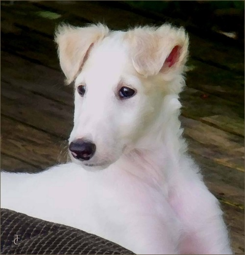 Borzoi puppy Stella lovely portrait