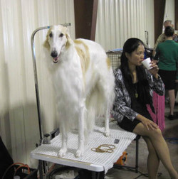 Quinn on grooming table at the show