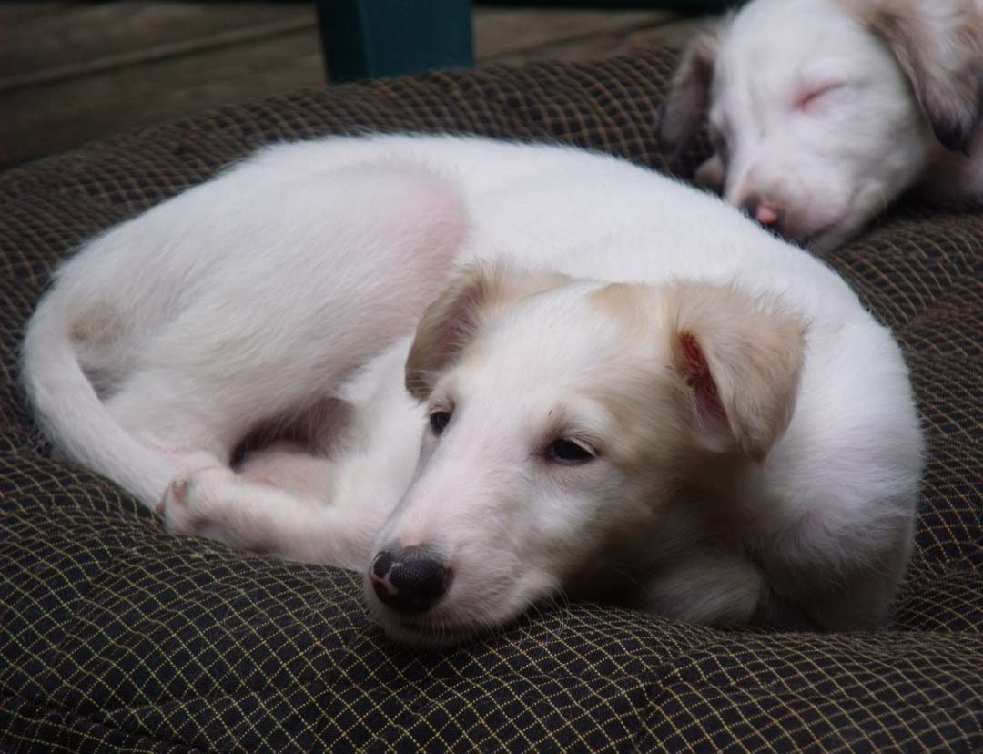 Borzoi puppies sleeping