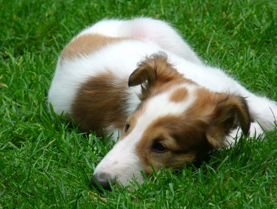 Borzoi puppy Shax sleeping in grass