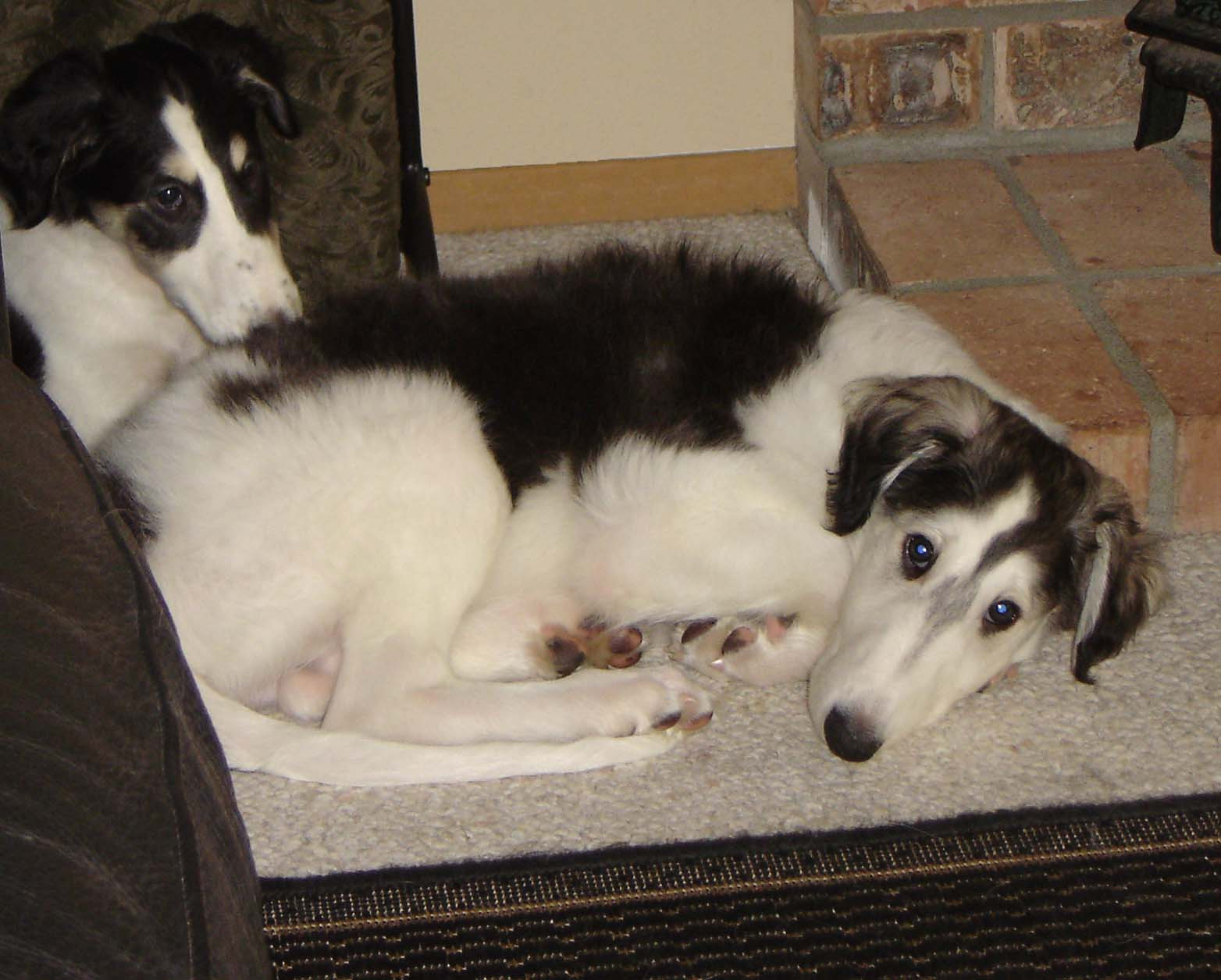 Borzoi puppies snuggling together