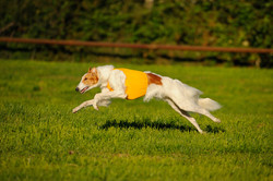 Shax lure coursing