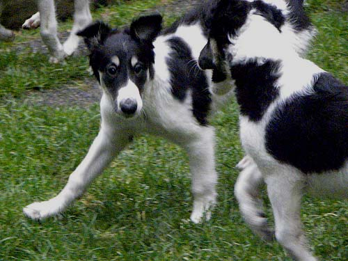 Borzoi puppy playing
