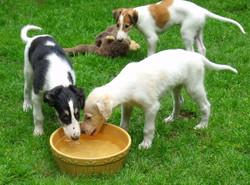 Deja Vu puppies drinking
