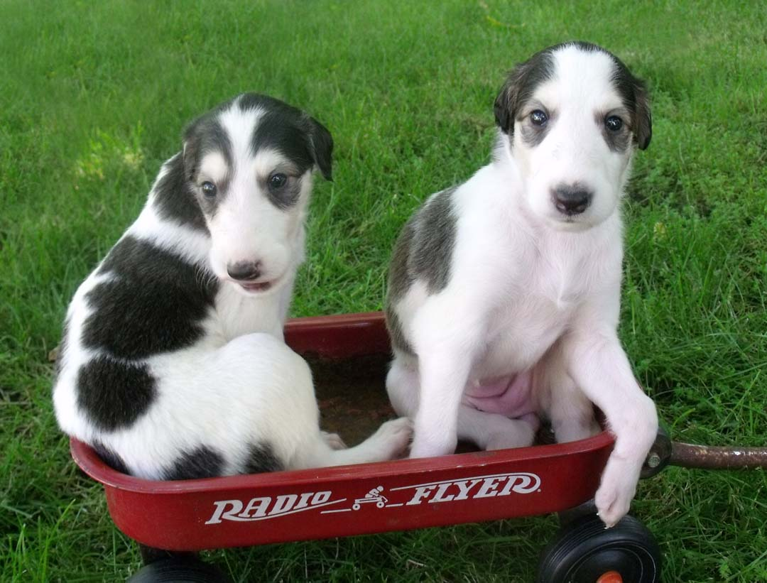 Borzoi puppies in radio flyer wagon