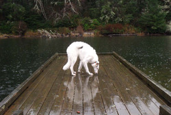 Roo on the dock in the rain