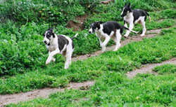 Lance leading his littermates in a run