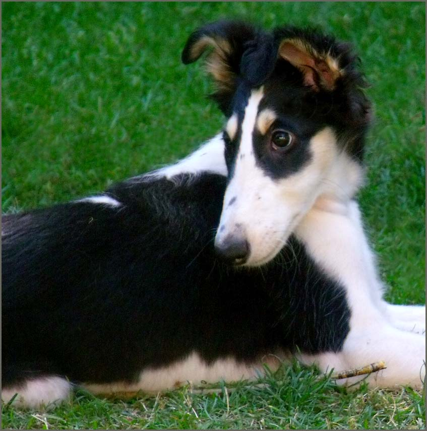 Borzoi puppies cute ears