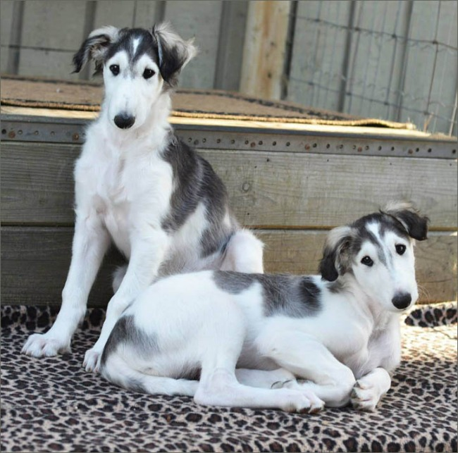 Cute Borzoi puppies on stairs