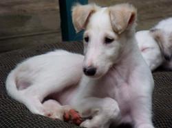 Stella puppy bonnet ears