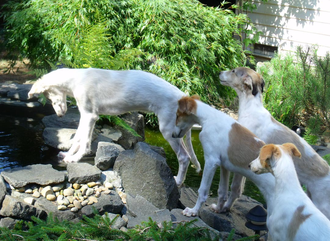 Borzoi puppies intrigued by the pond