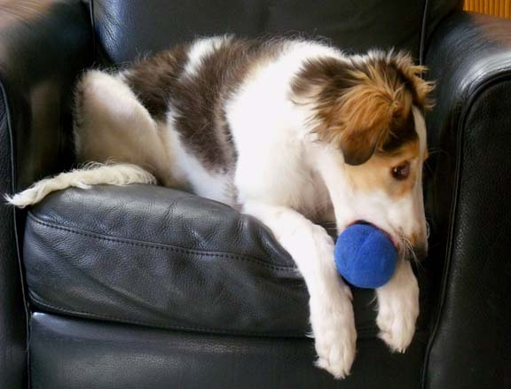 Borzoi puppy Braedon with ball