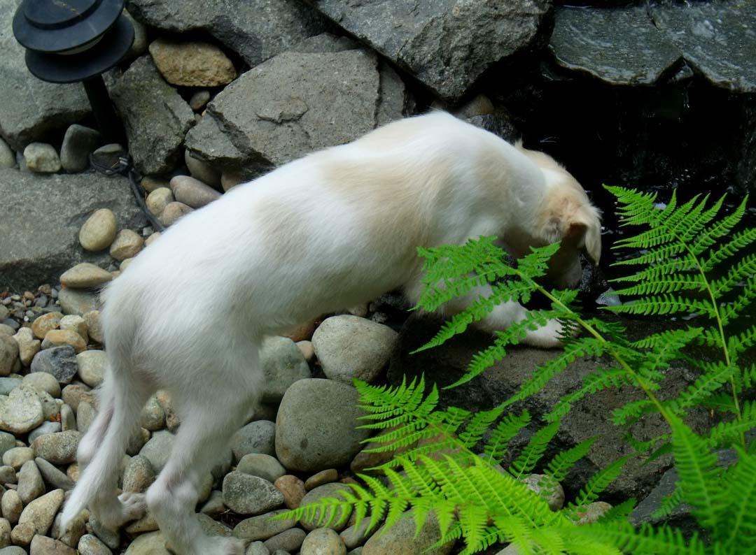 Borzoi puppy looking in the pond