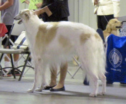 Quinn stacked in show ring