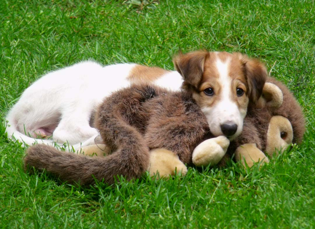 Borzoi puppy Cher with monkey toy